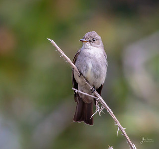 Western Wood Pewee Flycatcher