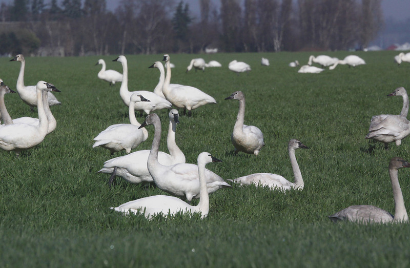 Trumpeter Swans