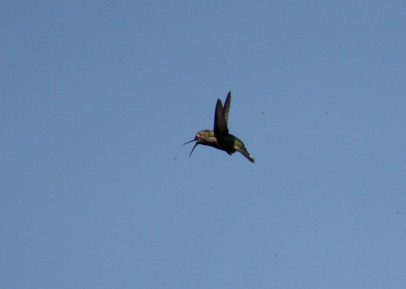 Hummingbird hunting gnats