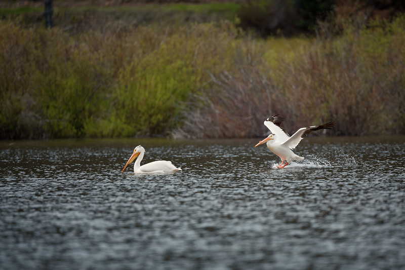 "American White Pelicans<br /> ""Sneaking up on her"""