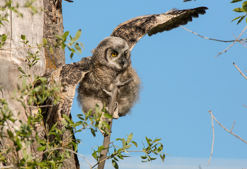 First Flight Owlet #1
