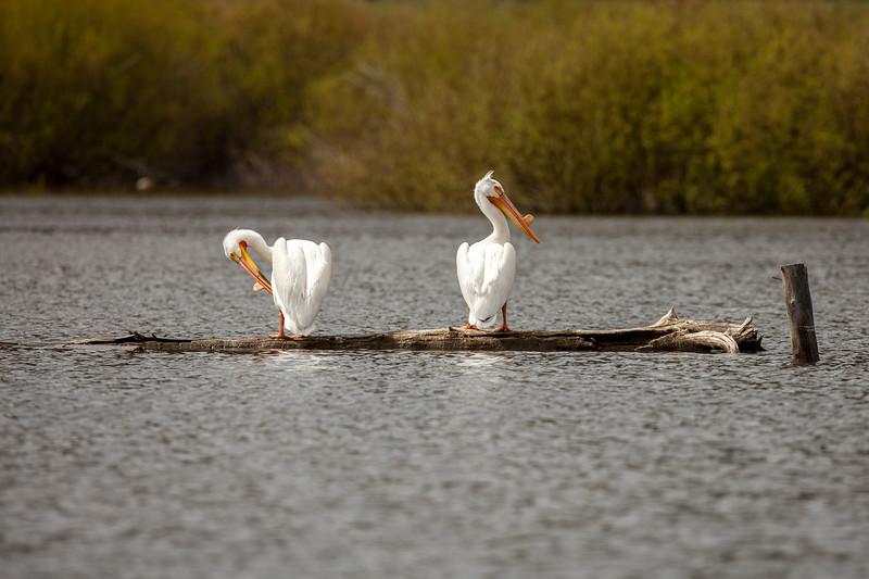 "American White Pelicans<br /> ""Preening"""