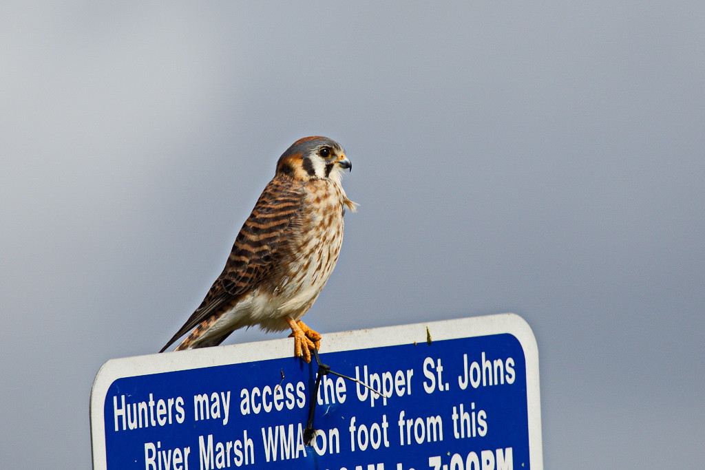 Another American kestrel, this one taken with my new camera, the 5D Mark III.
