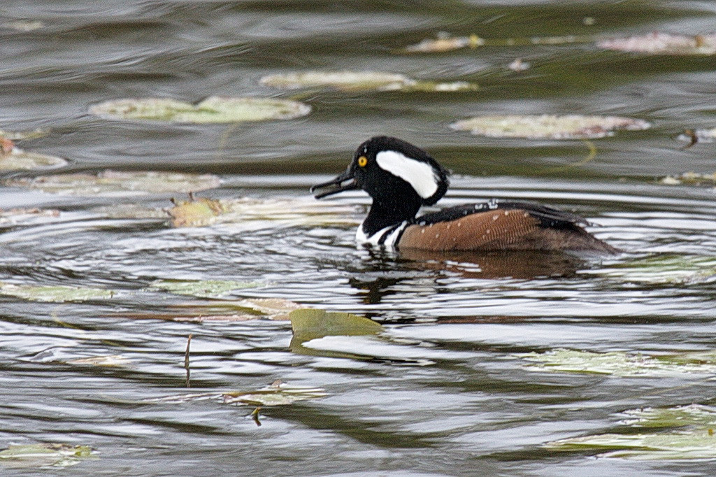 Here is the male hooded merganser that was accompanying the above female. 40D