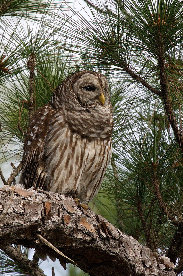One of the highlights of the afternoon was the photographic capture of this barred owl. When it hooted, its neck puffed out and its neck feathers shook. We were captivated by the sight and sound of this beautiful bird with bountiful feathers. I just wish it had been sitting in the sun. 40D