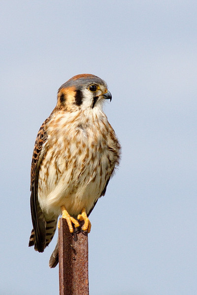 In my original (1966) bird book this pretty bird is called a sparrow hawk. In my latest bird book (Sibley, 2000), it's called an American kestrel. But pretty is deceiving; check out the hook on the end of its upper bill. It's not there for looks. 40D