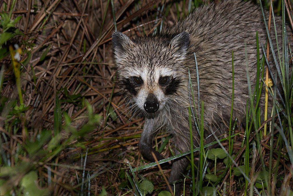 We arrived at the Wetlands at dawn, so there was not much available light. I had to use my external flash to take this juvenile raccoon's photo. It was walking with its mom and two siblings through the grasses along a pond's edge. 40D