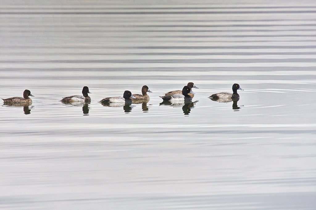 I thought this line of lesser scaups paralleling the lines in the water was interesting. It is a clean image with no debris in the water, creating what I think is a pretty photo. There are four males and three females here. 40D