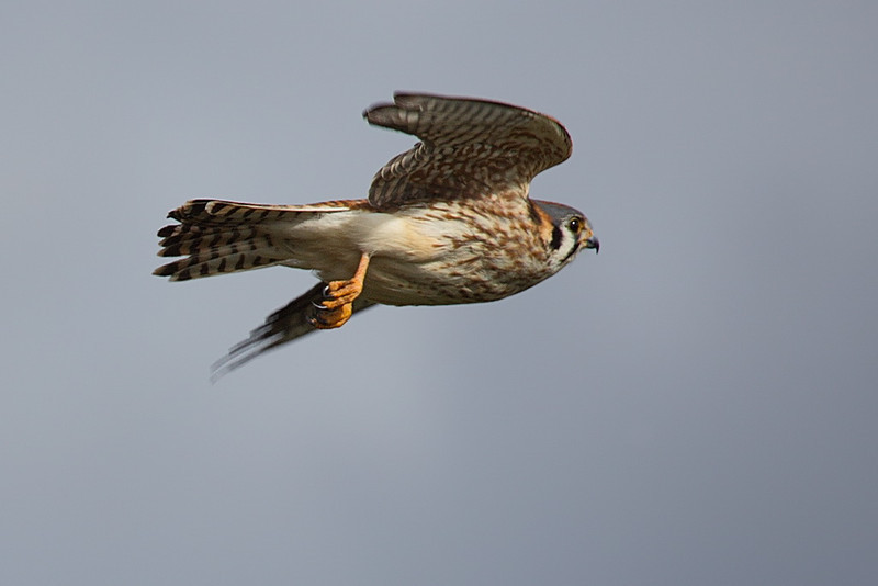 The kestrel must have found me too close because it took off. Here it was still in the process of stowing its landing gear. And check out its feet; with claws like those this bird is a serious raptor. 5D