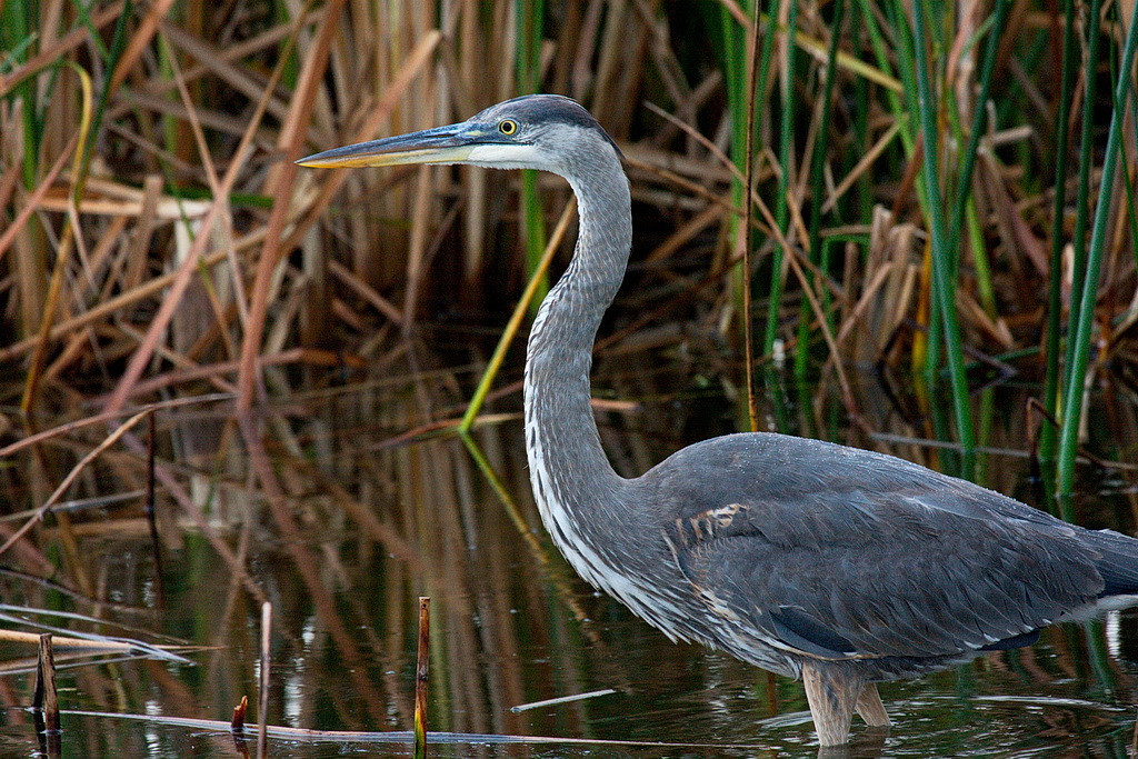 I've taken many great blue heron photos and don't really need another one. But this one seemed to be posing for me, was still, was quite blue, and stood in its natural habitat. I couldn't resist. 40D