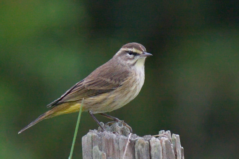 This palm warbler was a bit distant even for a 400mm lens, but it was so pretty and perched so nicely I had to take its photo. ACDSee Pro 6 helped me make a leather (if not silk) purse out of a sow's ear. The yellow under its tail is what characterizes it as a palm warbler. 40D
