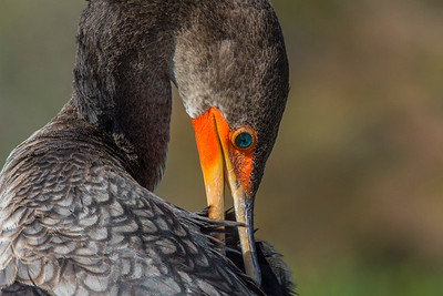 Female Double-crested Cormorant
