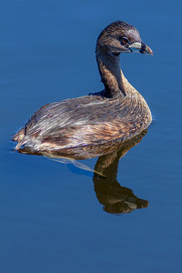 Pied-billed Grebe with Reflection
