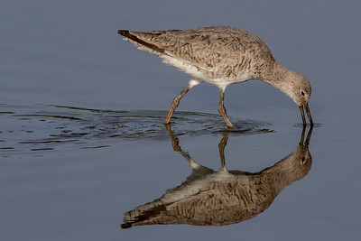 Willet Foraging