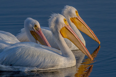 Trio of American White Pelicans