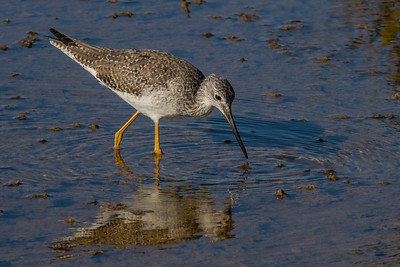 Greater Yellowlegs Feeding