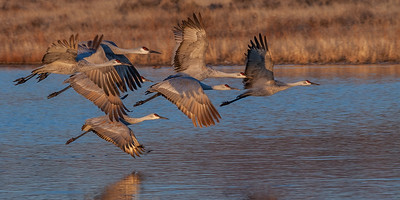 Sandhill Cranes Morning Fly-out