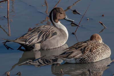 Pintail Duck Drake and Hen