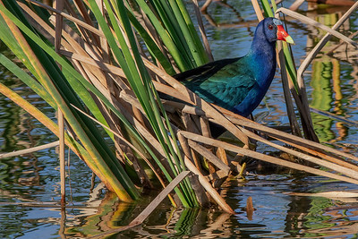 Purple Gallinule in the Reeds