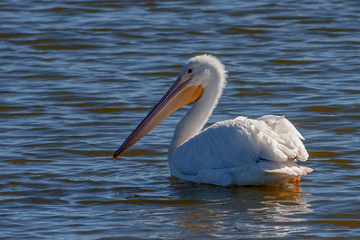 A Single American White Pelican