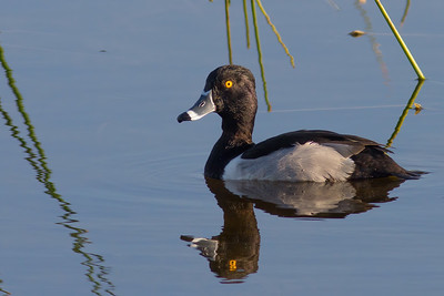Ring-necked Duck Drake