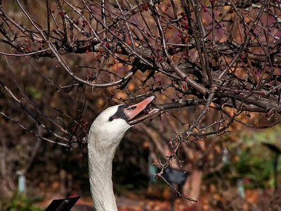 What do swans eat?