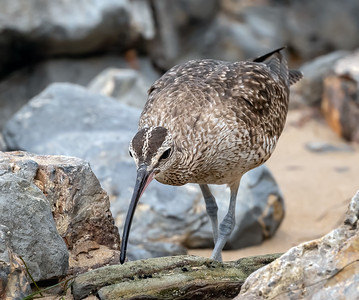 Whimbrel Searching for Food