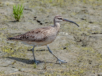 Whimbrel Portrait