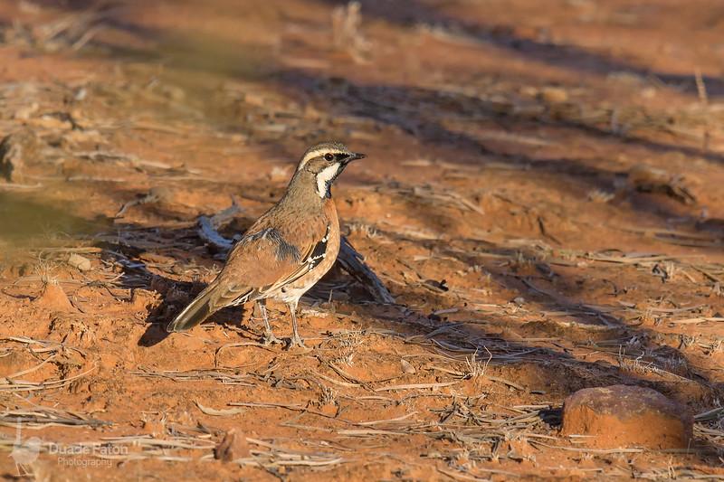 Chestnut-breasted quail-thrush