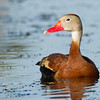 """Black-bellied whistling duck<br />  <a href=""""http://www.wklein.smugmug.com"""">http://www.wklein.smugmug.com</a>"""