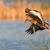 Black-bellied whistling duck @ Orlando wetland park.