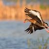 Black-bellied whistling duck @ Orlando wetland park.