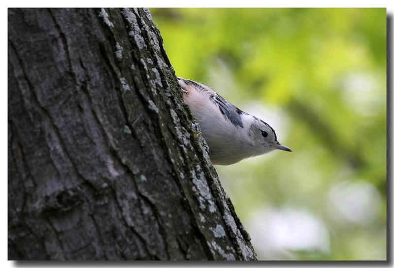 6-25-06 White Breasted Nuthatch 1