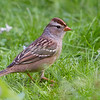 White-Crowned Sparrow<br /> 19 SEP 2013