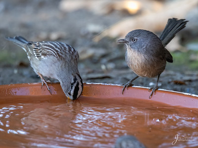 Wrentit and White crowned Sparrow