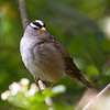 White-Crowned Sparrow<br /> 08 MAY 2012