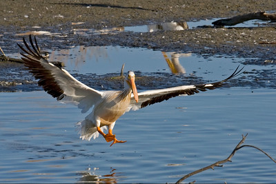 White Pelican coming in for a landind