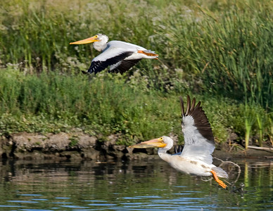 Two Pelicans taking off
