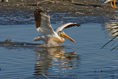 White Pelican taxiing