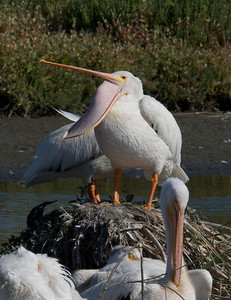 White Pelican with unexplained pose!