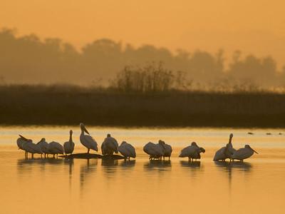 White Pelicans - Shollenberger Park, Petaluma, California