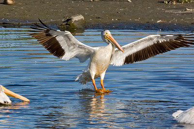 Touchdown for White Pelican