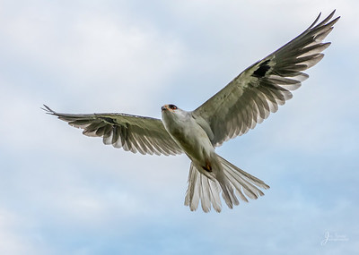 White tailed Kite