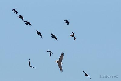 Ravens and Black Kites see off White-bellied Sea Eagle