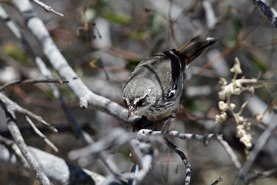 White-browed Scrub-wren