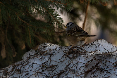0U2A1953White-crowned Sparrow