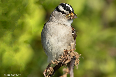 2J3A2200 white crowned sparrow