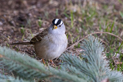 0U2A1971White-crowned sparrow