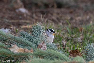 0U2A2035White-crowned Sparrow