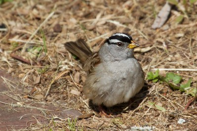 IMG_6028 - White-crowned Sparrow